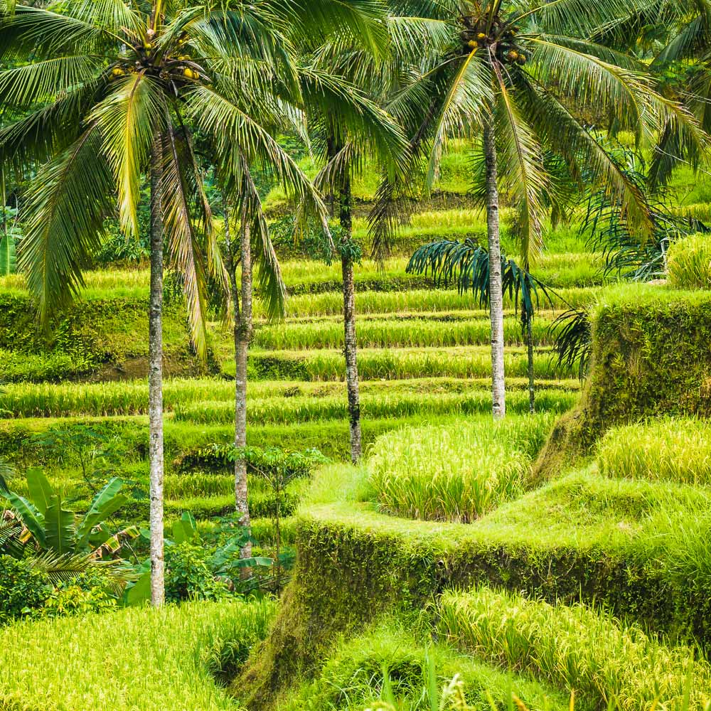 Slow Dive Indopazifik Indonesien Reisfelder
