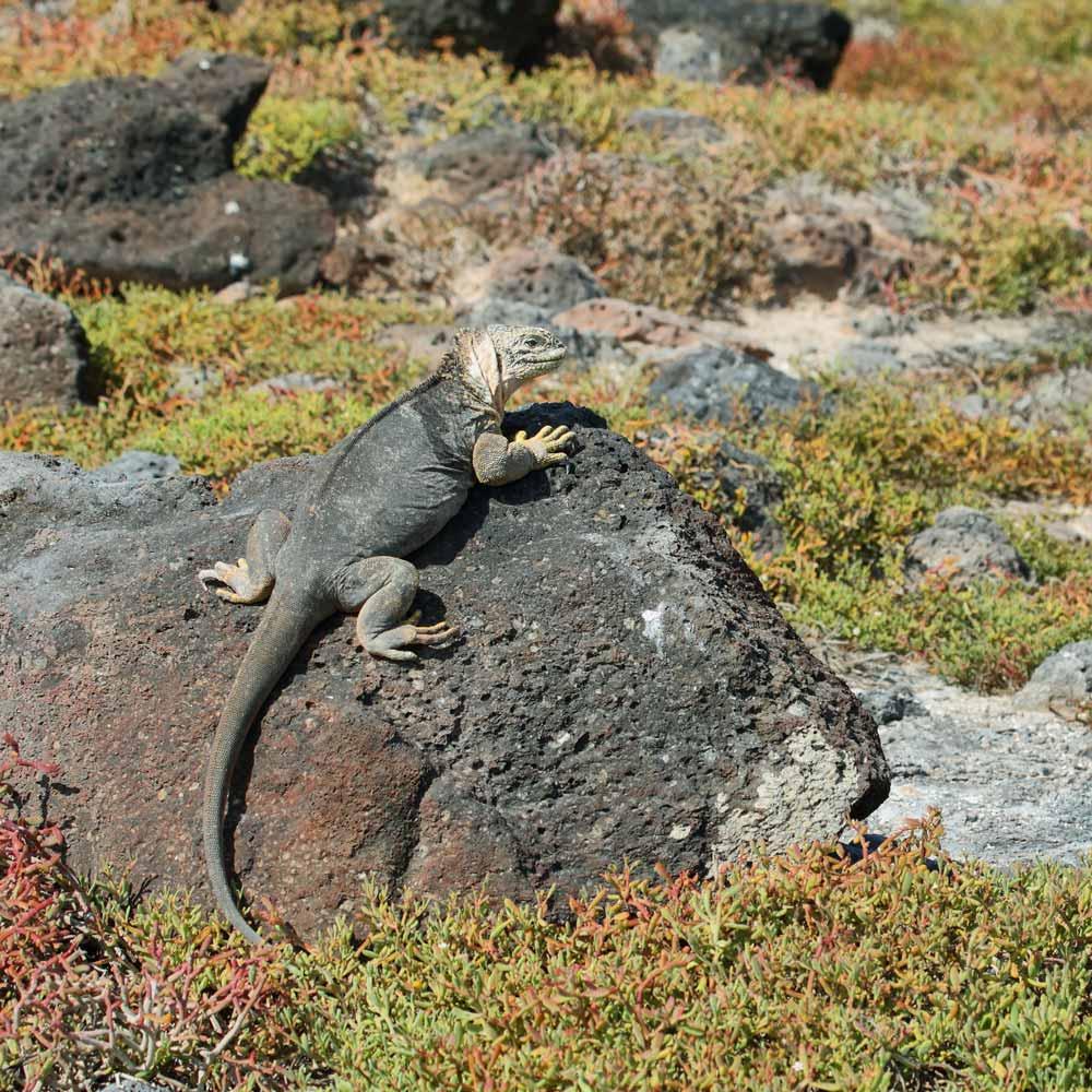 Slow Dive Pazifik Galapagos Echse