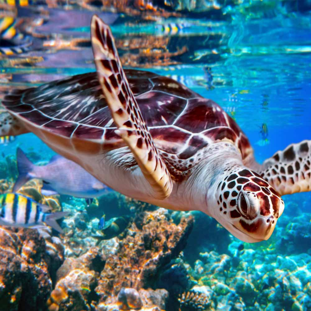 Slow Dive Special Ägypten Blue Pearl Schildkröte