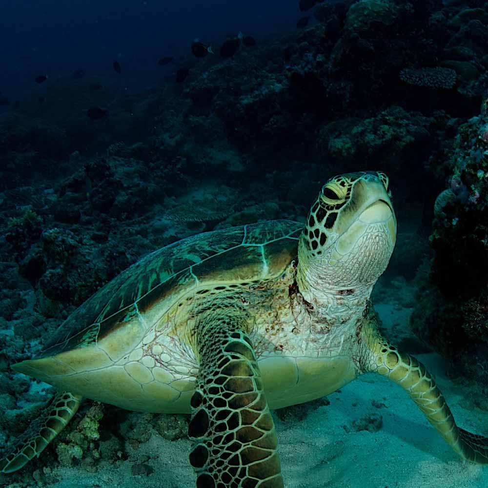 Slow Dive Special Palau 2022 Schildkröte
